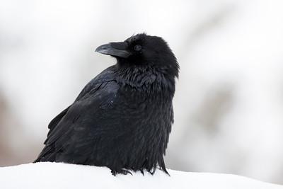 Regal Raven