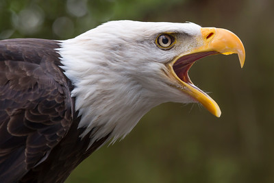 Unmistakable call of the Bald Eagle