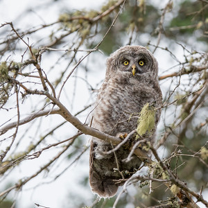 Great Grey Owlet Branchling