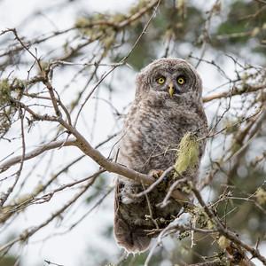Great Grey Owlet Branchling