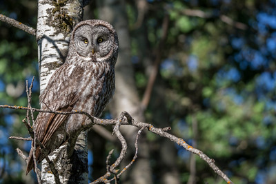 Female Great Grey Owl