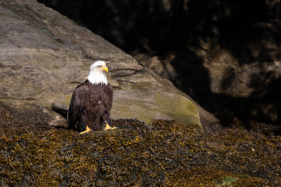 Bald Eagle at Water's Edge