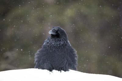 Fluffed up Raven