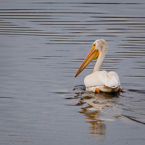 White Pelican sunset paddle