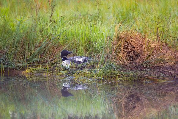 Morning on the Nest Common loon nesting. Crosslake, Minnesota