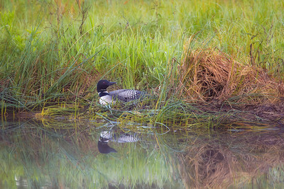 Morning on the Nest Common loon nesting. Crosslake, Minnesota