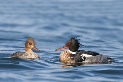 Red Breasted Merganser Pair