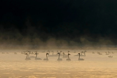 Winter Fog - Trumpeter Swans at Sunrise (Monticello, MN)