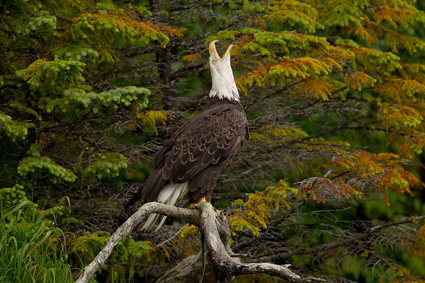 Screaming Eagle Seward, Alaska