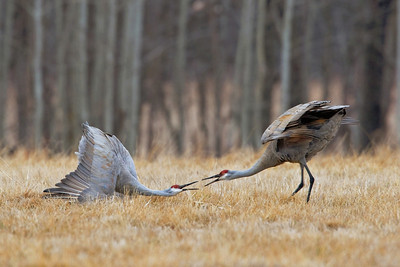 Sandhill Crane pair facing off during their spring mating dance in Minnesota