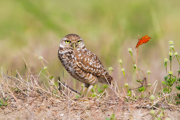 Burrowing Owl and Butterfly