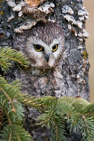 Northen Saw-whet Owl (Captive)