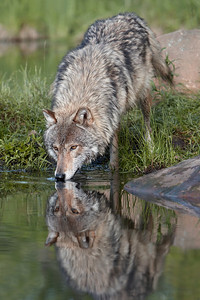 Timber Wolf Reflection (Captive)