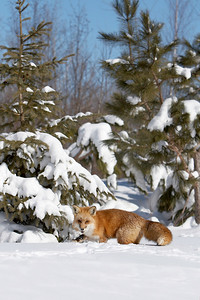 Red Fox (Captive)