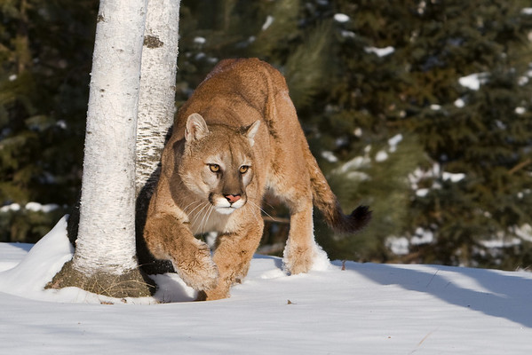 Cougar Winter Prowl (Captive)