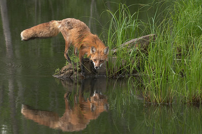 Fox Reflection (Captive)