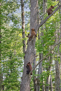 Black Bear Cubs heading up a tree in northern Minnesota.