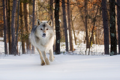 Gray Wolf (captive) Minnesota