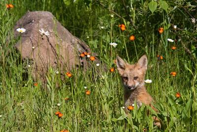 Baby Fox (Captive)