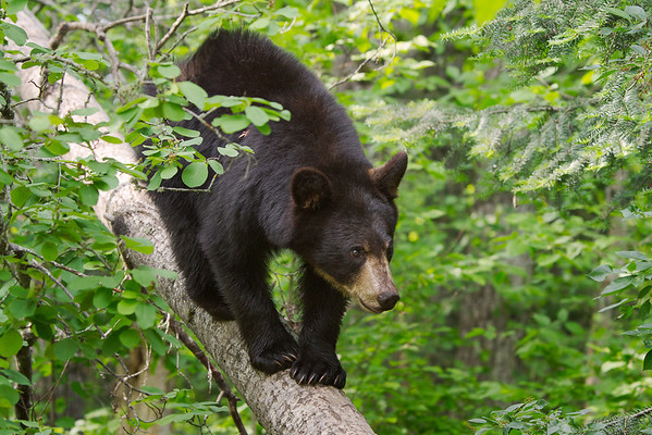 Black Bear Minnesota