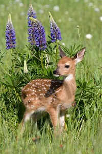 Fawn in Lupine (Captive)