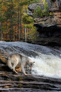 Timber Wolf at Waterfall (Captive)