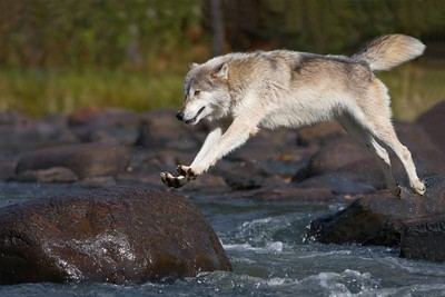 Timber Wolf Leaping (Captive)