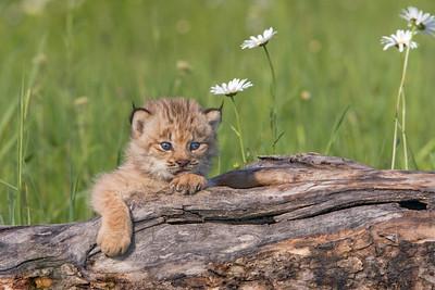 Baby Lynx (Captive)