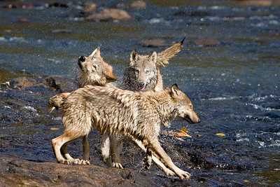 Young Timber Wolves shaking off (Captive)