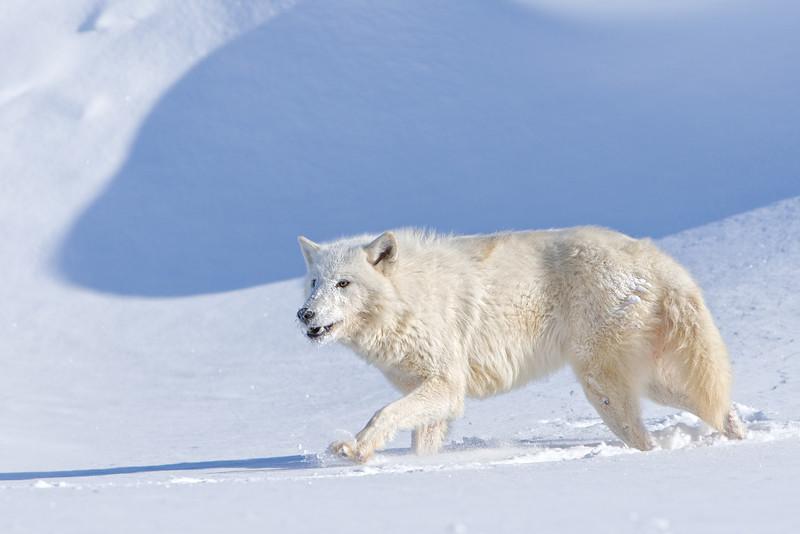 Arctic Wolf (captive)