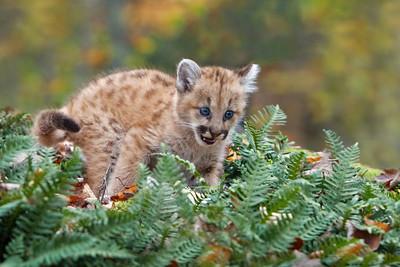 Cougar Baby (Captive)