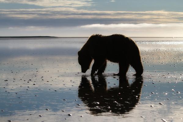 Coastal Brown Bear Lake Clark National Park, Alaska