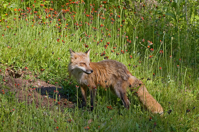 Fox at her Den (Captive)