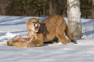 Cougar with Dinner (Captive)