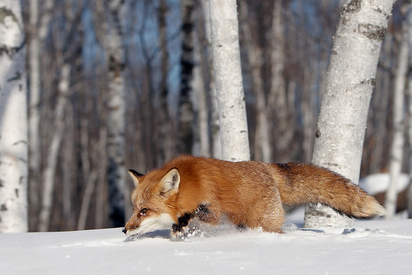 Red Fox Winter Prowl (Captive)