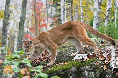 Cougar Fall Scene (Captive)
