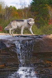 Timber Wolf (captive)