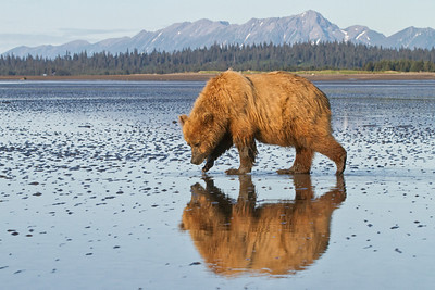 Coastal Brown Bear Lake Clark National Park, Alaska