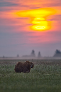Alaskan Sunrise Coastal Brown Bear at sunrise Lake Clark National Park, Alaska