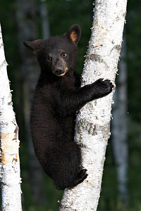 Black Bear Cub (Captive)
