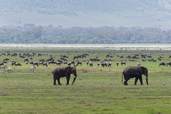 Wildlife mingling in massive numbers here in the crater.