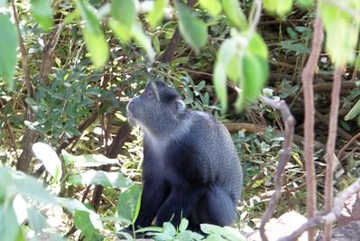 I just love this shot of this blue monkey in Lake Manyara National Park.  A sense of wonder.