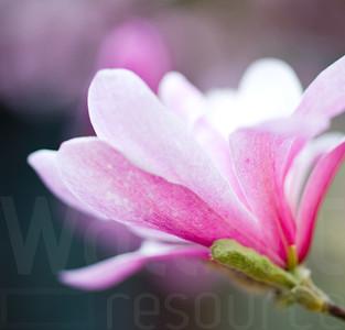 Magnolias In Bloom 013 | Wall Art Resource