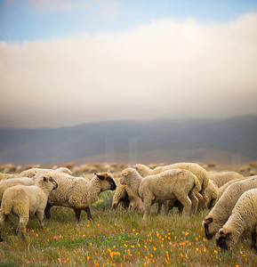 Grazing Sheep 002 | Wall Art Resource