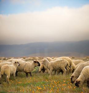 Grazing Sheep 002 | Wall Art Resource