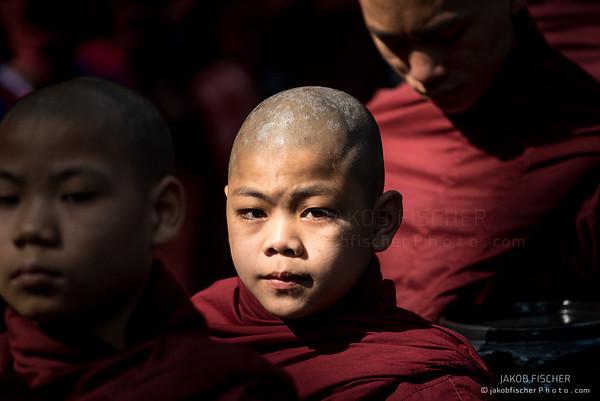 young burmese novice