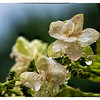 Hydrangea In the Rain