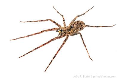 Wandering spider (Ctenidae: Enoploctenus cyclothorax) Piedade, SP, Brazil August 2012 Tropical rainforest
