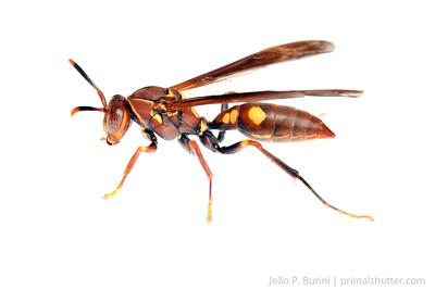 Paper wasp (Polistes species) Piedade, SP, Brazil August 2012 Tropical rainforest