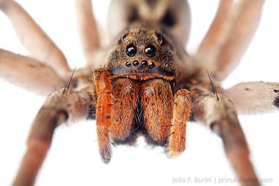 Wolf spider (Lycosa erythrognatha) Sorocaba, SP, Brazil Urban August 2012